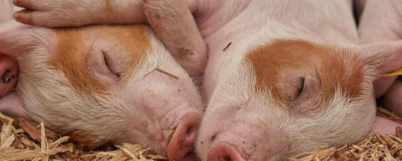 Dieta u świń